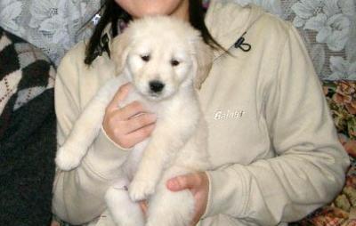ゴールデンレトリバーの子犬オス、千葉県佐倉市ココア君画像