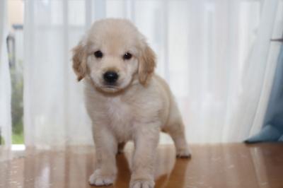 ゴールデンレトリバーの子犬オス、千葉県佐倉市アル君