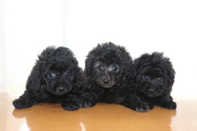 トイプードルの子犬、ブラック(黒)オスメスとシルバーメス、生後7週間画像