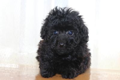 ティーカッププードルブラック(黒)の子犬メス、生後7週間画像
