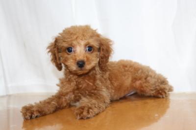 トイプードルレッドオスの子犬、生後2ヵ月画像
