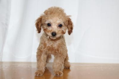 トイプードルアプリコットオスの子犬、生後2ヵ月画像