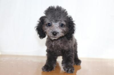 タイニーサイズトイプードルシルバーの子犬オス、生後2ヵ月画像