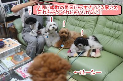 神奈川県横浜市のトイプードル多頭飼い画像