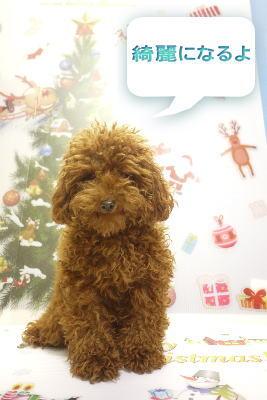 千葉県鎌ヶ谷市のトイプードルブリーダーの成犬,トリミング画像