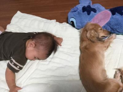 沖縄県ミニチュアダックスシェイデッドクリームの子犬メス、梅ちゃん画像