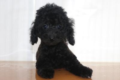 トイプードルブラックの子犬オス、生後2ヵ月画像