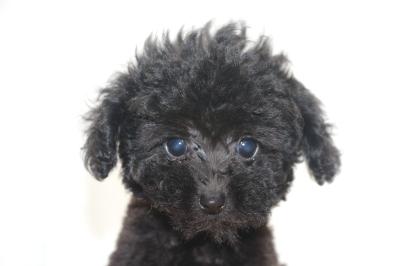 ティーカッププードルブラックの子犬メス、生後2ヵ月画像