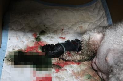 トイプードルシルバーの出産、産まれたばかりのシルバーの子犬オス画像