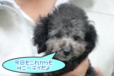 神奈川県横浜市トイプードルシルバーの子犬オス、サニー君画像