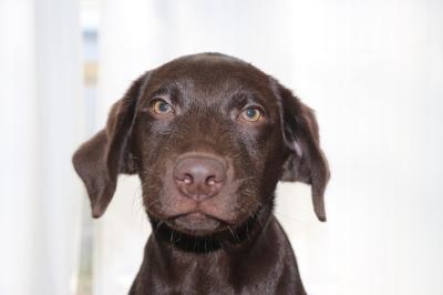 ラブラドールチョコの子犬メス、生後4ヵ月画像