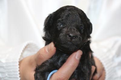 トイプードルシルバーの子犬オス、生後2週間画像