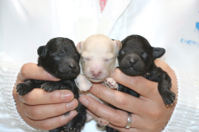 トイプードルシルバーとホワイトオスシルバ―メスの子犬、生後1週間画像