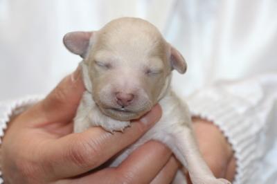 トイプードルホワイトの子犬オス、生後1週間画像