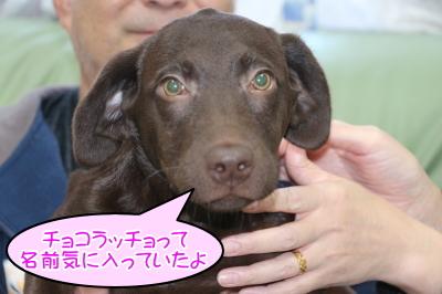 千葉県船橋市ラブラドールチョコの子犬メス、生後4ヵ月のハナちゃん画像