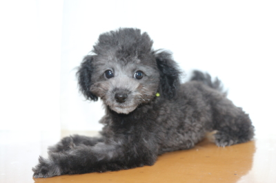 北海道トイプードルシルバーの子犬メス、ギンちゃん画像
