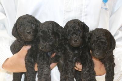 トイプードルシルバーの子犬オス3頭メス1頭、生後3週間画像