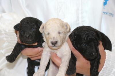 トイプードルシルバーとホワイトオスシルバ―メスの子犬、生後2週間画像