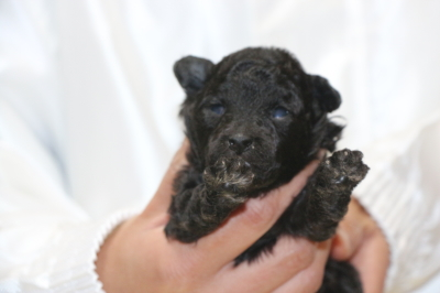 トイプードルシルバーオスの子犬、生後2週間画像
