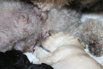 トイプードルホワイトの子犬オス、生後2週間画像