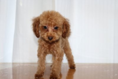 トイプードルレッドオスの子犬、生後3ヵ月画像