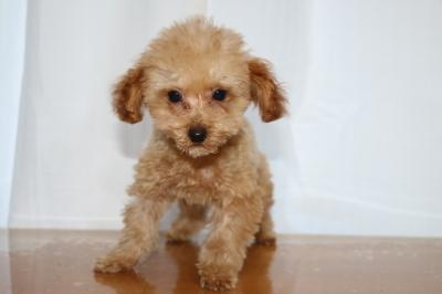 トイプードルアプリコットオスの子犬、生後3ヵ月画像