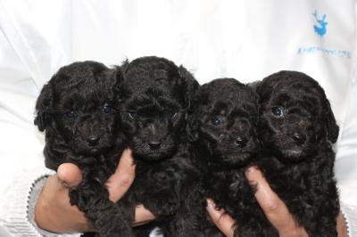 トイプードルシルバーの子犬オス3頭メス1頭、生後4週間画像