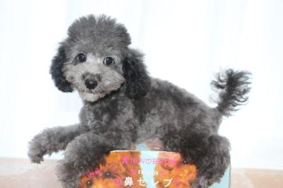 トイプードルシルバーの子犬オス、生後3ヵ月画像