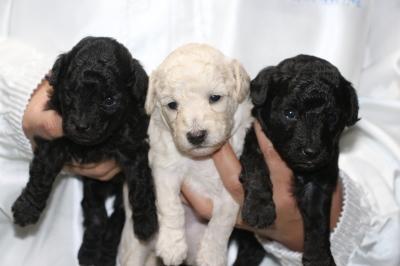 トイプードルシルバーとホワイトオスシルバ―メスの子犬、生後3週間画像