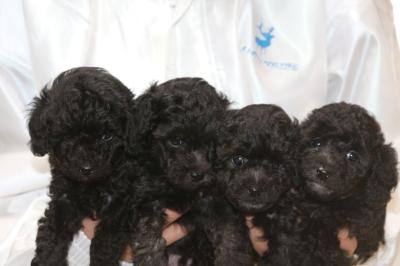 トイプードルシルバーの子犬オス3頭メス1頭、生後5週間画像
