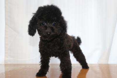 トイプードルブラック(黒)の子犬オス、生後3ヵ月画像