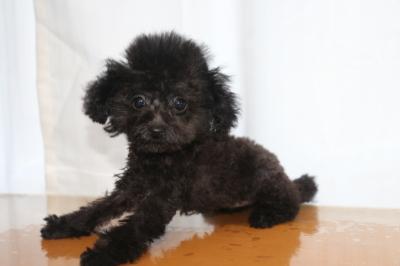 ティーカッププードルブラック(黒)の子犬メス、生後3ヵ月画像
