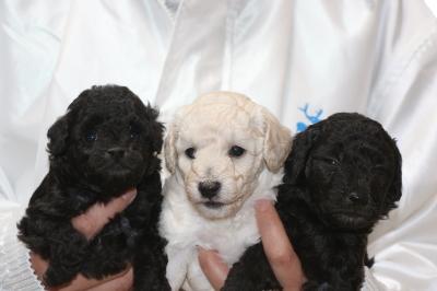 トイプードルシルバーとホワイト(白)オスシルバ―メスの子犬、生後4週間画像
