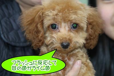 タイニーサイズトイプードルレッドの子犬オス、埼玉県さいたま市ライム君画像