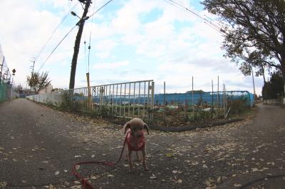 ペットホテルin千葉県、トイプードルコニーちゃんfrom船橋市