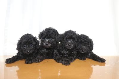 トイプードルシルバーの子犬オス3頭メス1頭、生後6週間画像