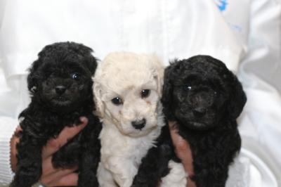 トイプードルシルバーとホワイト(白)オスシルバ―メスの子犬、生後5週間画像