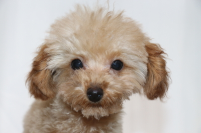 トイプードルアプリコットの子犬オス、千葉県船橋市茶々丸君画像