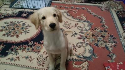 千葉県佐倉市ゴールデンレトリバーの子犬オス、生後4ヵ月画像