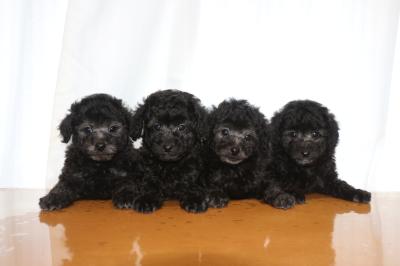 トイプードルシルバーの子犬オス3頭メス1頭、生後7週間画像