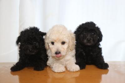 トイプードルシルバーとホワイト(白)オスシルバ―メスの子犬、生後6週間画像
