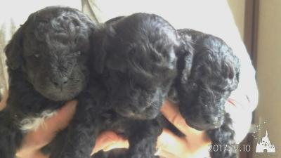 トイプードルシルバーの子犬メス3頭、生後1ヵ月画像