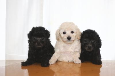 トイプードルシルバーとホワイト(白)オスシルバーメスの子犬、生後7週間画像