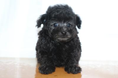 タイニーサイズトイプードルシルバーの子犬オス、生後7週間画像