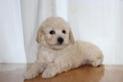 トイプードルホワイト(白)の子犬オス、生後7週間画像