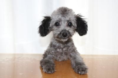 トイプードルシルバーの子犬メス、生後4ヵ月、ブリーダー画像