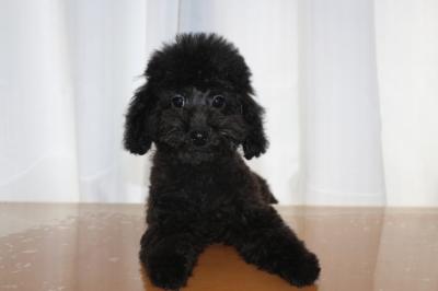 トイプードルブラック(黒)の子犬オス、生後4ヵ月画像