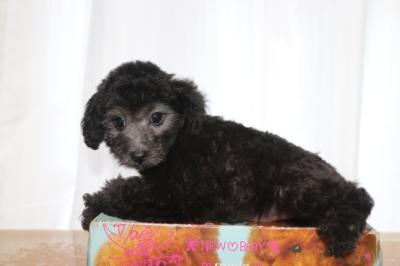 トイプードルシルバーの子犬メス、生後2ヵ月画像