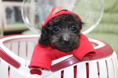 ティーカッププードルブラック(黒)の子犬メス、三重県四日市市メイちゃん画像
