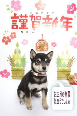千葉県松戸市の柴犬のトリミング画像